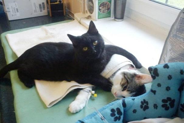 nurse-cat