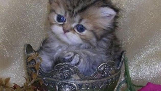 teacup kittens3