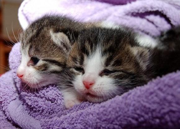 teacup kittens4