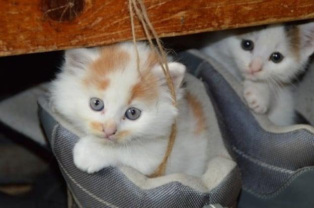 teacup kittens9