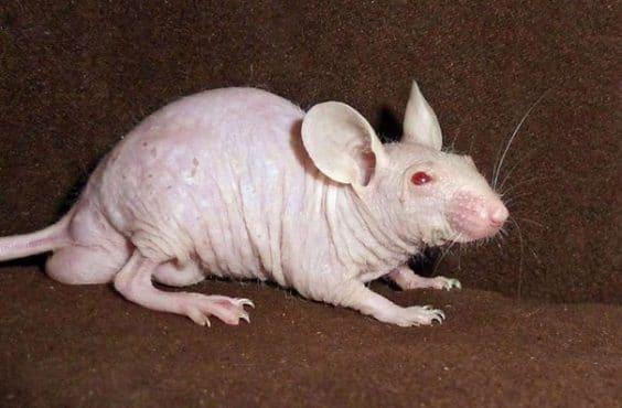 https://i2.wp.com/www.new.thiswaycome.com/wp-content/uploads/2015/08/14400951366367-hairless-bald-animals-12.jpg?resize=605%2C401
